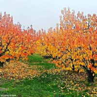 Jesenske barve češnjevega nasada. Grad Kromberk.